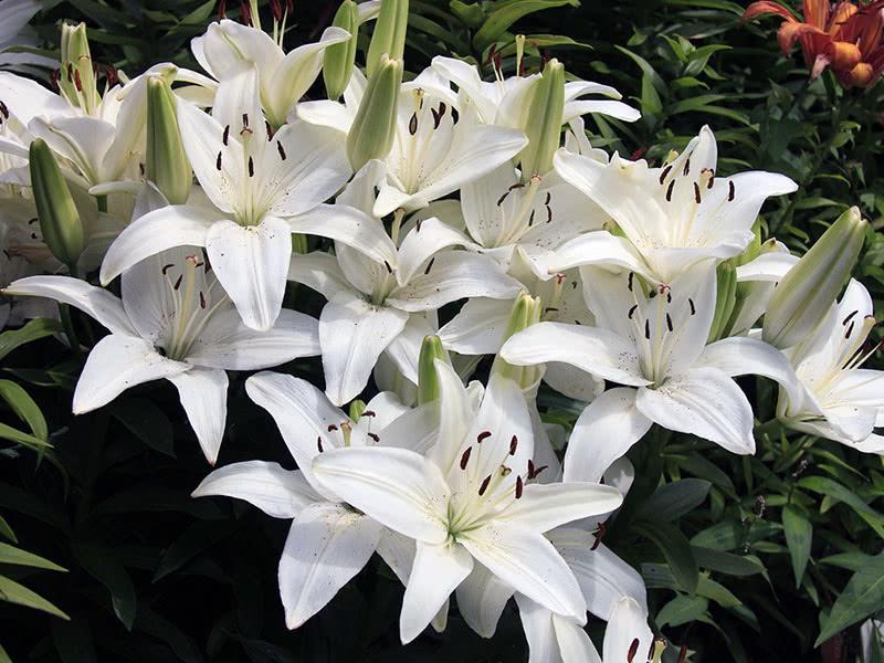 Apollo Lily