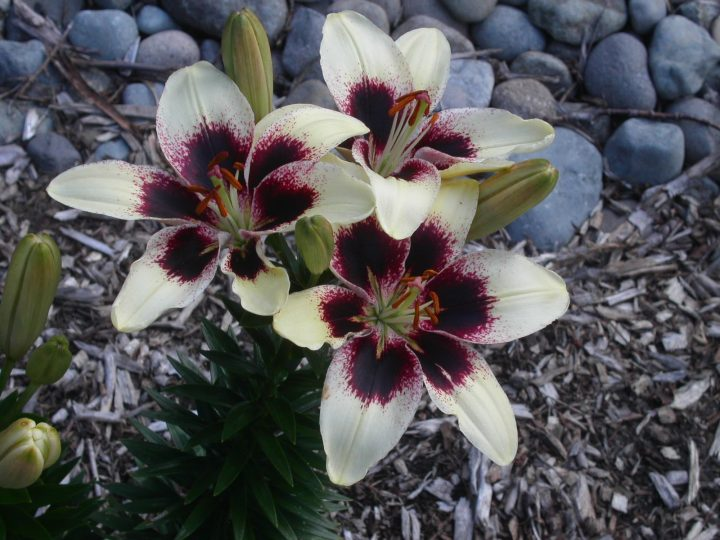 Black Spider Lily