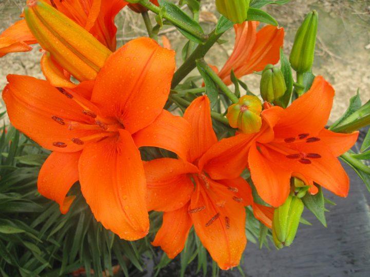 Brunello Lily