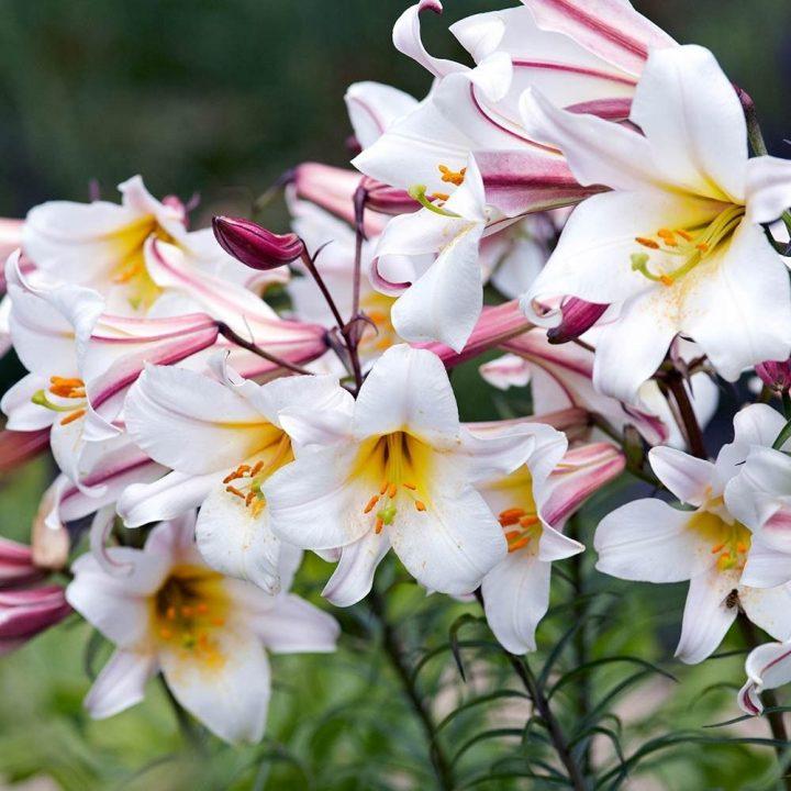 Regale Lily