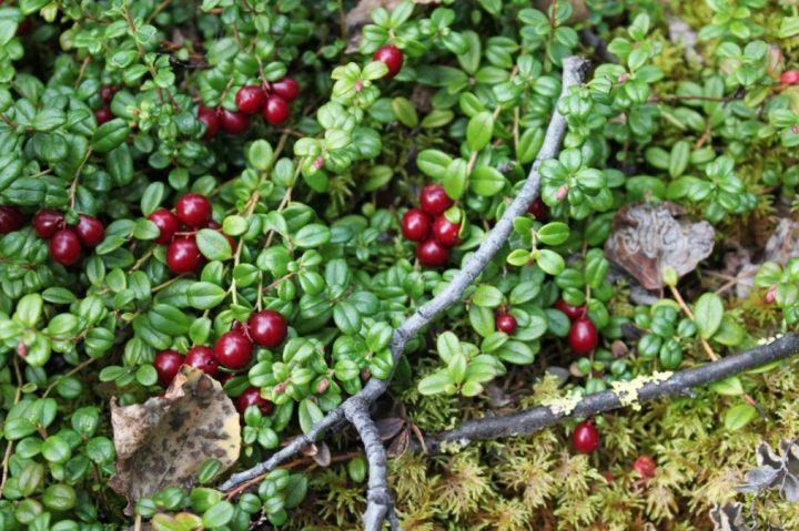 Lingonberry Shrub