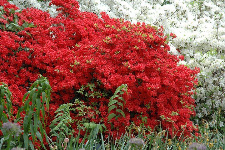 Stewartstonian Azalea in Bloom